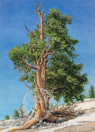 Bristlecone Pine Notecard