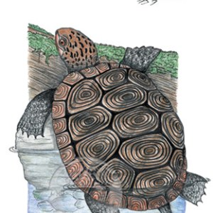 Diamondback Terrapin Notecard