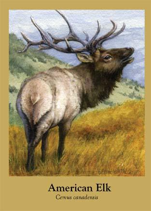 American Elk