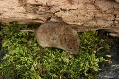 Field Vole, ecology training