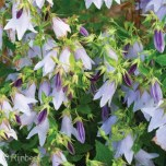 Campanula 'Iridescent Bells'