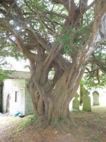Feock: the yew
