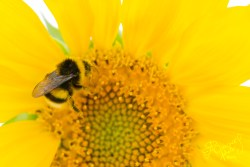 Bumblebees are active pollinators. As they feed from the florets that constitute the sunflower, they get covered in pollen, which they will carry over to other flowers in the field.