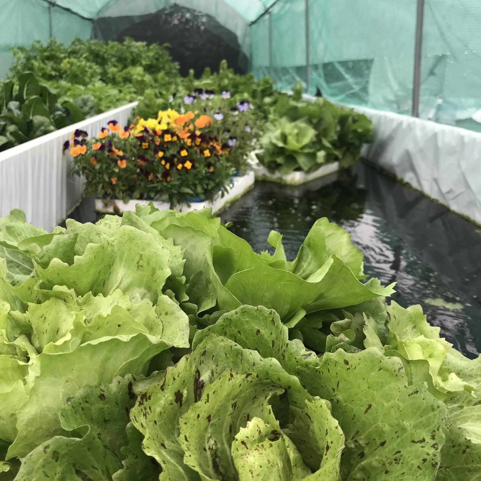 Aquaponix. Acquaponica, coltivazioni biologiche di cibo ecosostenibile per ristoranti, cuochi e cucina.