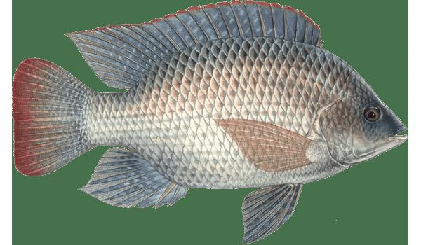 Tilapia acquaponica acquacoltura