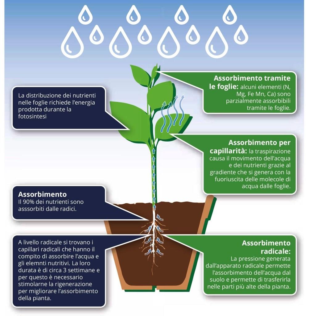Quale pH in acquaponica? Come le piante assorbono i nutrimenti. Tramite le foglie, assorbimento per capillarità, assorbimento radicale.