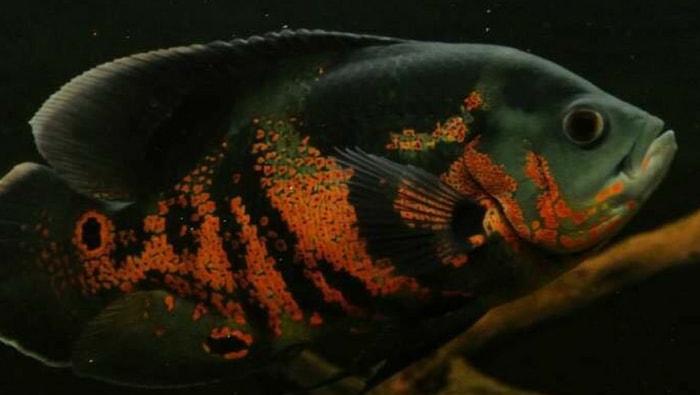 pesce oscar