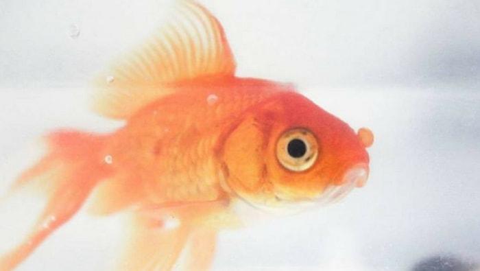 pesci rossi carassius auratus i pi famosi del mondo