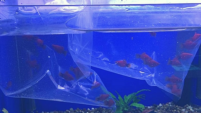 Come acclimatare i pesci