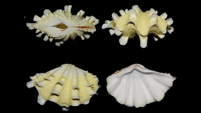 T. squamosa