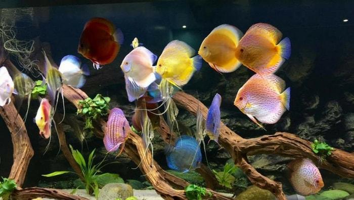 acquario di discus