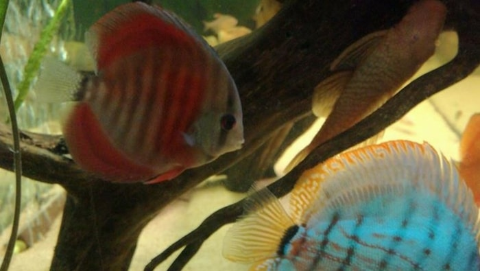 stress bar discus