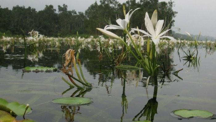 Crinum natans fiore