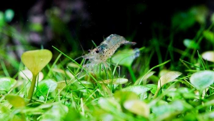 Caridina japonica (multidentata)
