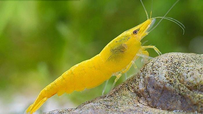Neocaridina davidi Yellow