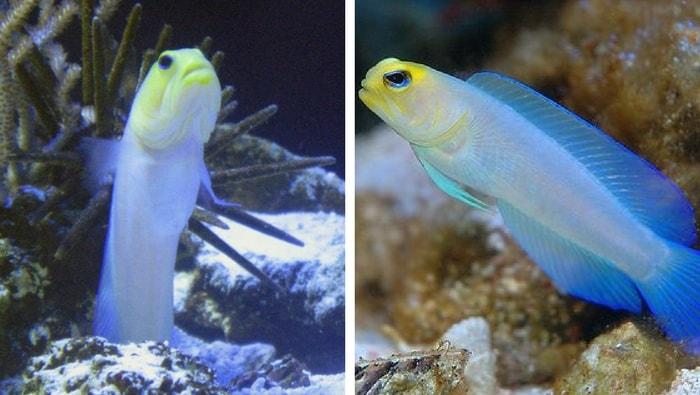 Opistognathus aurifrons - pesce minatore
