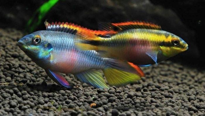 Pelvicachromis pulcher ciclide