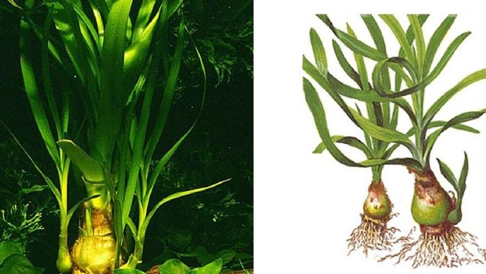 Crinum thaianum bulbo