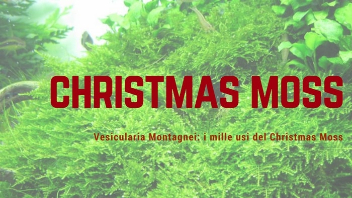 Vesicularia Montagnei