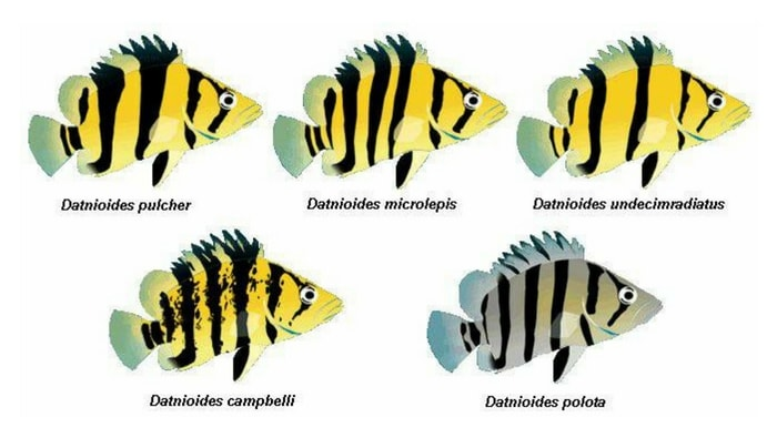 differenze datnioides microlepis