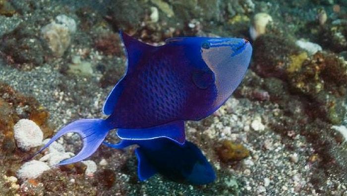 odonus niger - pesce balestra nero