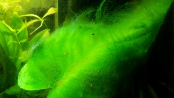 Alghe filamentose