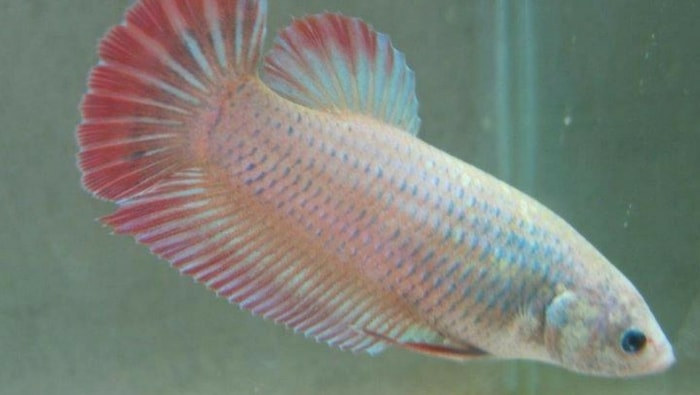 Betta Splendens Cambodian