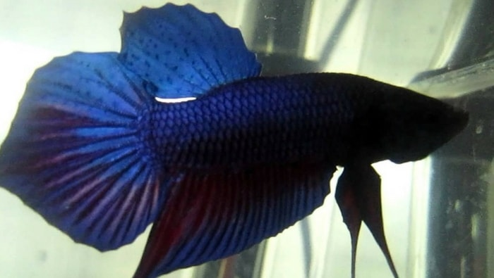Betta Splendens Spadetail