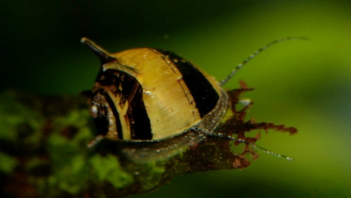 Clithon corona - neritina cornuta