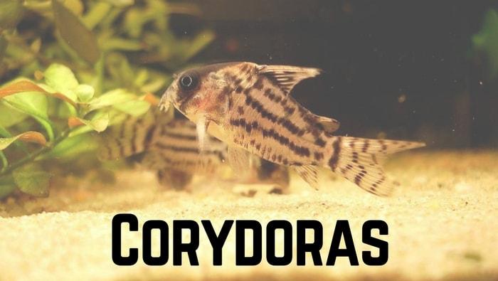 Corydoras, le specie