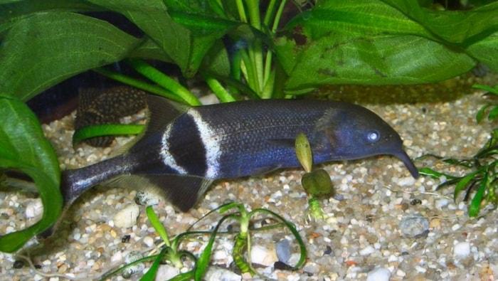 Gnathonemus petersii o pesce elefante