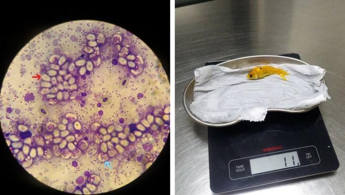 Trattamento per la malattie protozoarie nei pesci