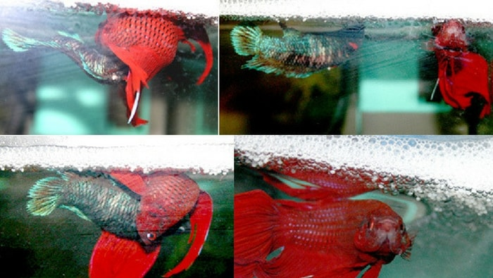 accoppiamento betta splendens