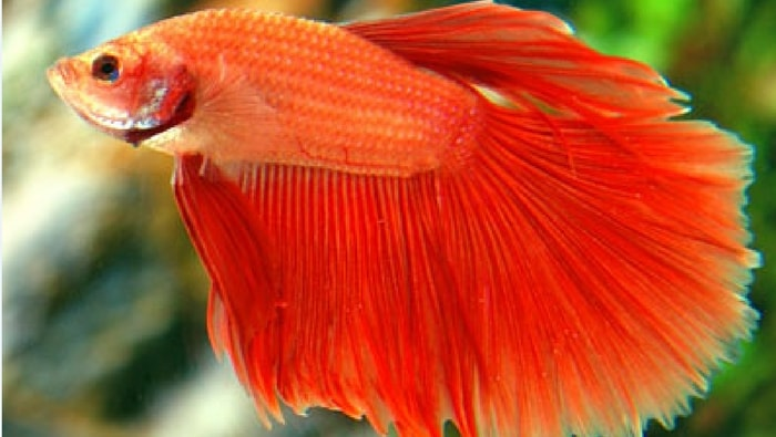betta splendens super delta