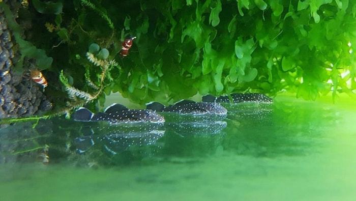 green spot alga