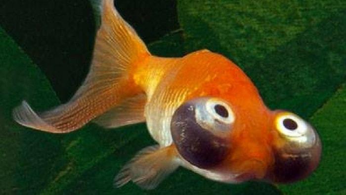 Celestial eye uno dei pesci rossi pi delicati al mondo for Pesce rosso razza
