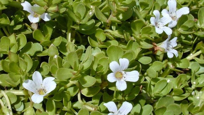 Bacopa monnieri fiore in forma emersa