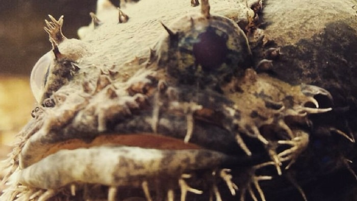 Batrachomoeus trispinosus