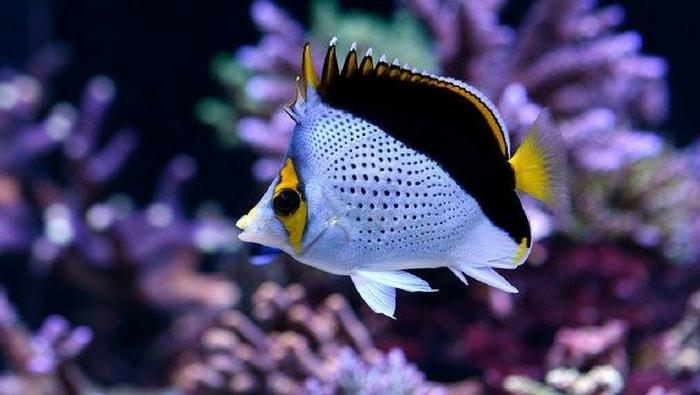 Chaetodon tinkeri - pesce farfalla di tinkeri