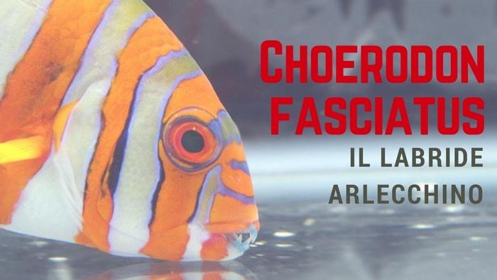 Choerodon fasciatus il labride arlecchino