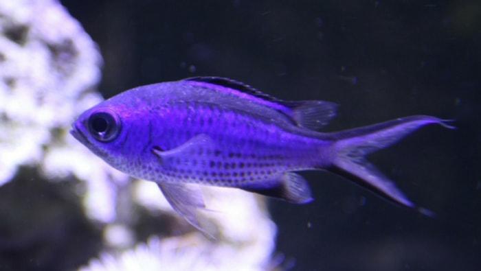 Cyanea blue Chromis Chromis