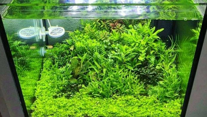 Didiplis diandra in nano acquario