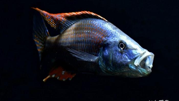Dimidiochromis compressiceps Malawi