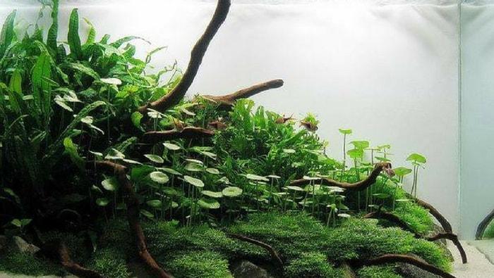 Hydrocotyle verticillata layout acquario