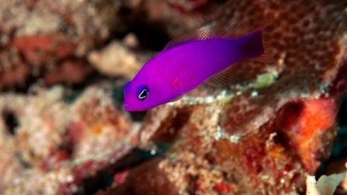 Pseudochromis porphyreus - pesce di porfido