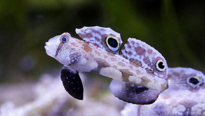 Signigobius biocellatus