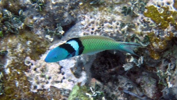 Thalassoma bifasciatum
