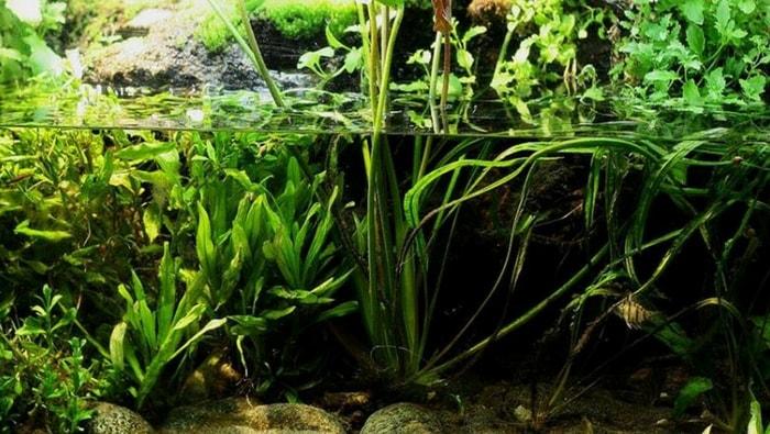 acquario piantumato con Enneacanthus chaetodon