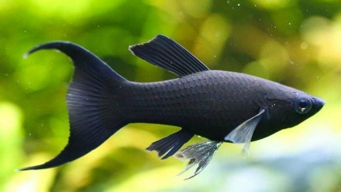 black molly salmastro