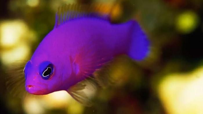 magenta dottyback - pesce di porfido